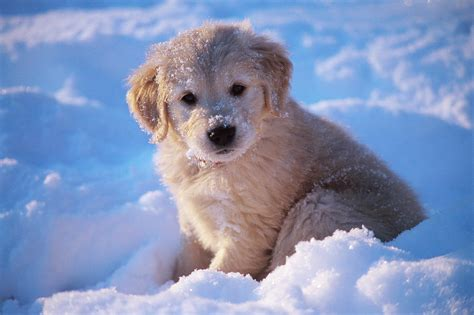 snow golden retrievers golden retriever puppy seated in snow by stan fellerman