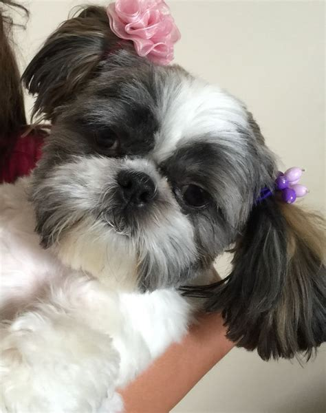how much are shih tzu puppies worth 1000 images about shi tzu puppies on shih tzu shih tzu puppy and shih tzus