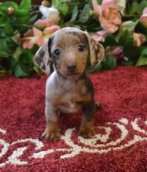 mini doxie puppies for sale minis tans and for sale on