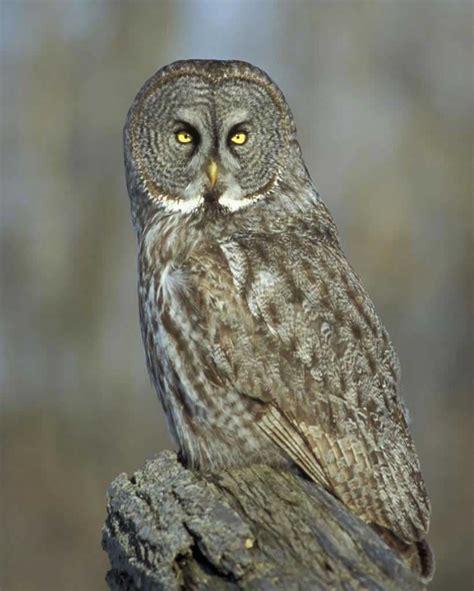 L Owl by Great Gray Owl Audubon Field Guide