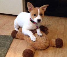 pug rescue rochester ny a ranian a ranians min pin pomeranian hybrid dogs pom mix pups