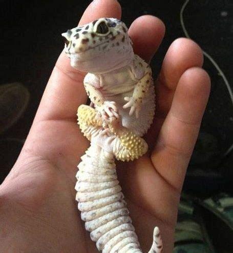 leoparden deko leopard gecko animals creatures