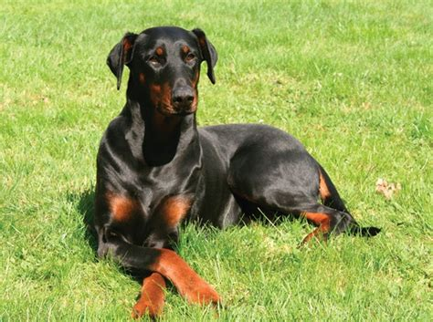 guard breeds for security protection dogs breeds