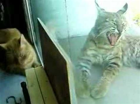 bobcat vs domestic cat images indoor cat and bobcat 2 youtube