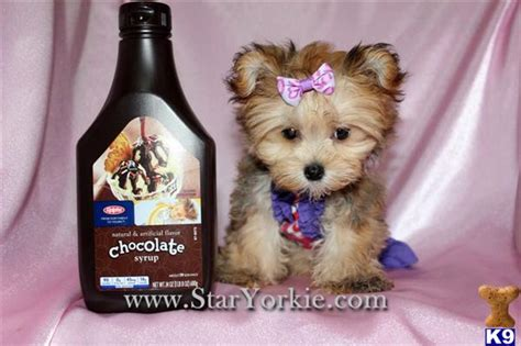 yorkie pudding mix pin yorkie poodle maltese mix on
