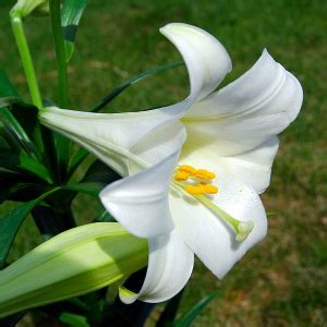 after bloom care for easter lilies houseplant411 com