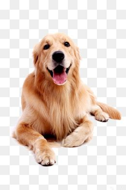 golden retriever puppies sacramento area golden retriever puppy with breeds picture