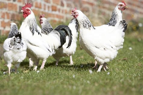 raise chickens in backyard raising chickens in your backyard