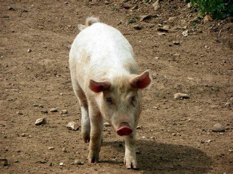 animali da cortile elenco quali sono gli animali onnivori animali come si
