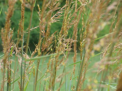 three iconic prairie grasses to add to your landscape dyck arboretum