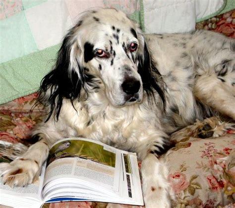 english setter dog breeds dog blog dog breed english setter dog breed photos