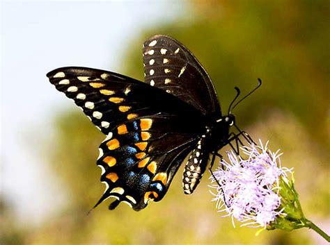 black swallowtail butterfly sea island garden 187 black swallowtail butterfly