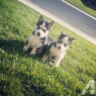 husky puppies for sale in california siberian husky puppies for sale for sale in vacaville california classified