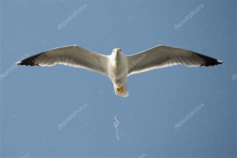 gabbiano uccelli gabbiano in volo scatena escrementi di uccelli foto