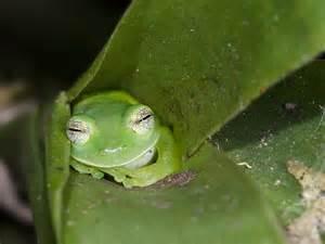 imagenes de la rana kawaii animales entra 241 ables rana de cristal