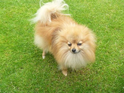 adopt a teacup pomeranian teacup pomeranian for sale blyth northumberland pets4homes