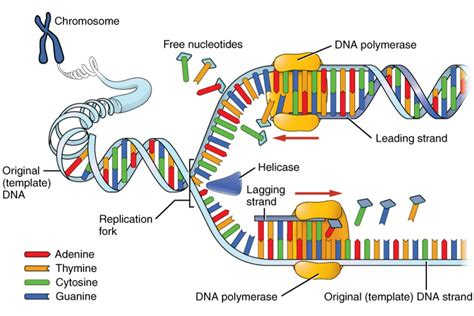 5 proteins in dna replication dna replication process and steps