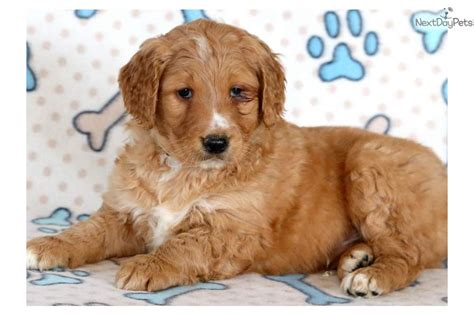 goldendoodle puppy application goldendoodle puppy application fifi goldendoodle puppy