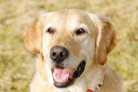 characteristics of golden retrievers golden retriever temperament personality