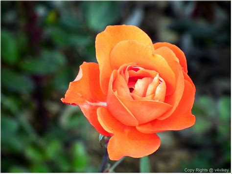 different colors of roses different type of beautiful flowers in different