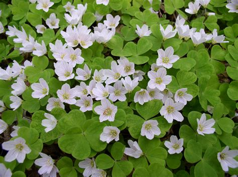 Oxalis by 25 Types Of Flowers To Plant For Summer Summer Flowers