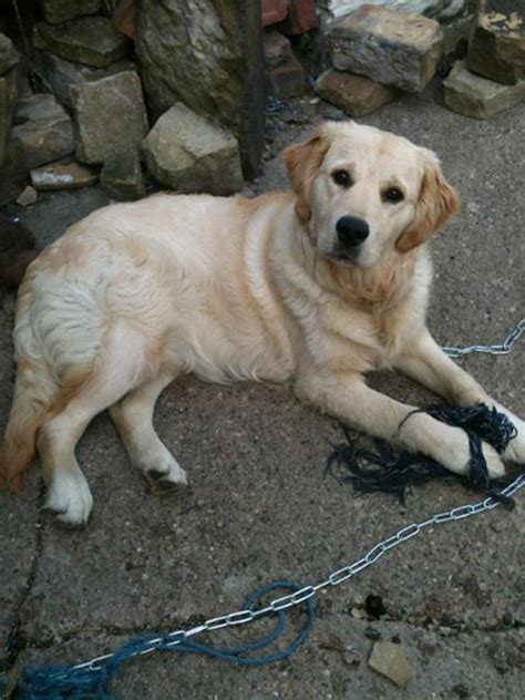 golden retriever rehome 8 month golden retriever needs rehoming holmfirth west