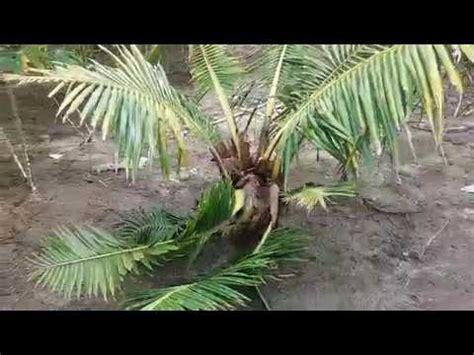bongkar rahasia cara menangani pohon kelapa hibrida yang terserang kumbang gajah youtube