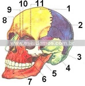 Cabe 231 a o ser humano aula de anatomia ci 234 ncias biol 243 gicas