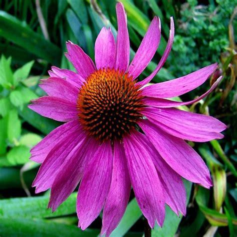 echinacea 500 mg heirloom non gmo seeds