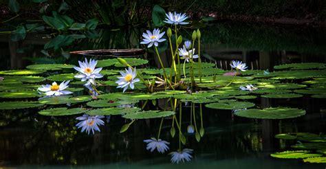 Waterlilies: Jewels of the Water Garden