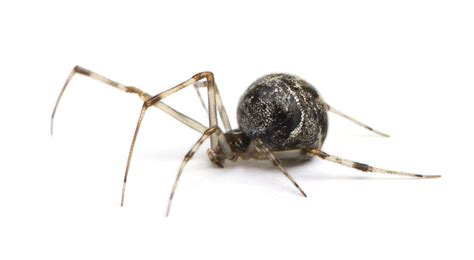 are house spiders dangerous spiders creepy pests crawling through your home