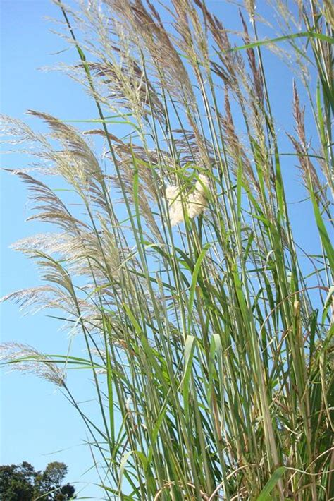 hardy pas grass ravenna grass plume grass our plants kaw valley greenhouses