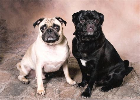 www pugs org pugs and pug puppies