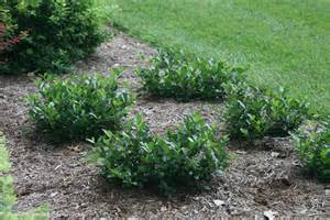 Gardening Zones In The Us - low scape mound aronia ground cover chokeberry jpg proven winners