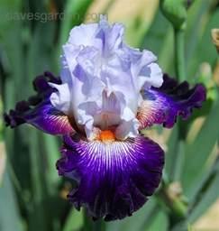 plantfiles pictures tall bearded iris snowed in iris