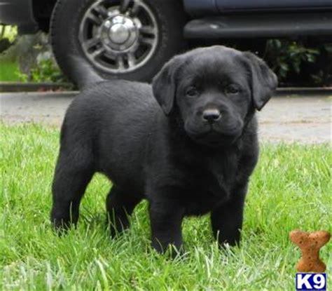 black lab puppies for sale in iowa labrador retriever puppies for sale yellow lab puppies breeds picture