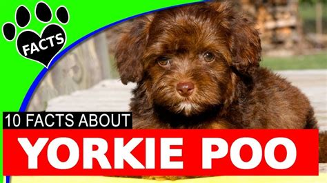 facts about yorkie poos 10 yorkie poo yorkipoo dogs 101 facts yorkie poodle mix funnycat tv