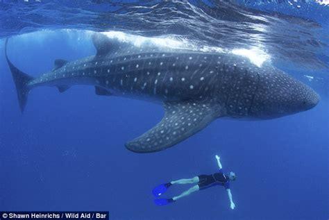 imagenes impresionantes de ballenas impresionantes im 225 genes de un tibur 243 n ballena en la costa