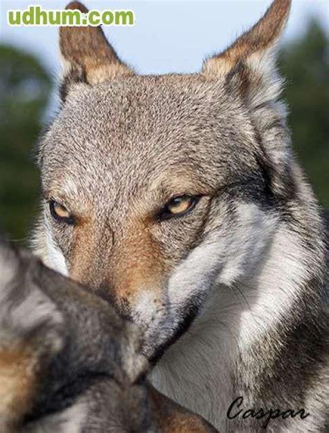 camada perros proxima camada perro lobo checoslovaco
