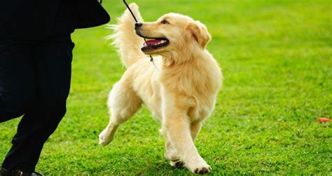 why are some golden retrievers why your golden retriever is so important