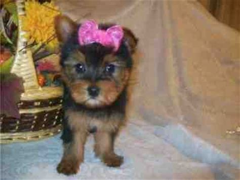 yorkie puppies for sale in alexandria la pets free classified ads