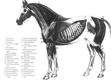 horses muscles diagram muscular system gallery