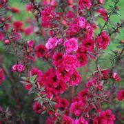 arbusti da fiore sempreverdi piante viola arbusti sempreverdi
