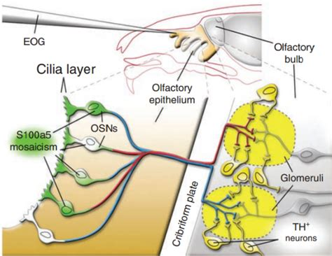 olfactory pathway diagram biol1020 semester 2 2012 gene therapy to restore the senses