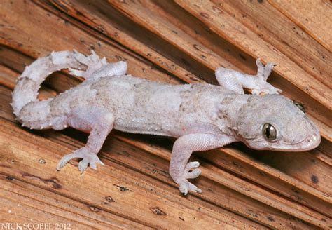 Tropical House Gecko tropical house gecko hemidactylus mabouia march 2012 ev flickr photo