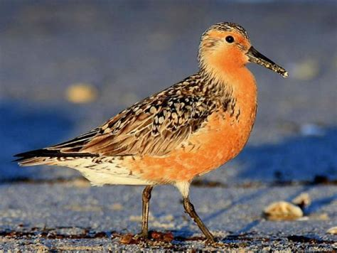 Redknot Tech knots a bird species on the decline wvtf
