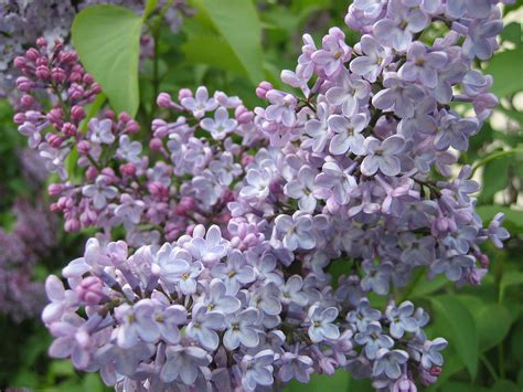 the color lilac lilac color