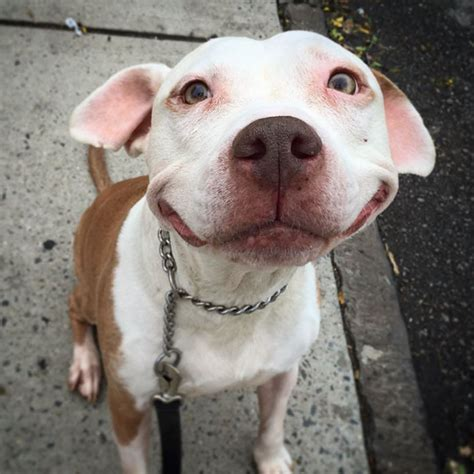 can dogs smile stray pit bull can t stop smiling after he was rescued from bored panda