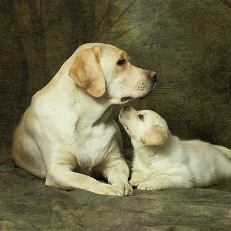 puppies puppies artist labrador breed with puppy photograph by sergey ryumin