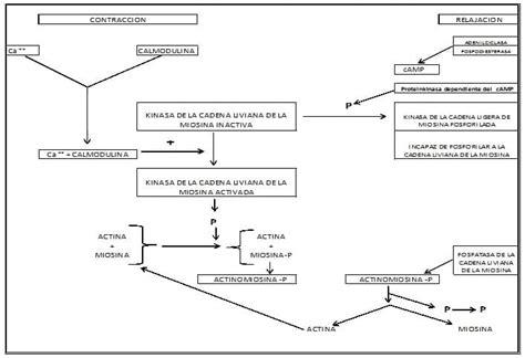 cadenas ligeras in english fosfatasa de miosina de cadena ligera